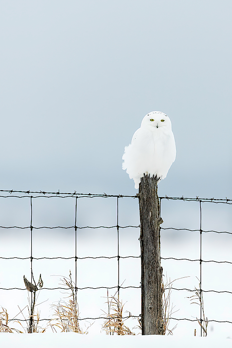 Male Snowy Owl Perched on a Fence Post by Mark Harrington